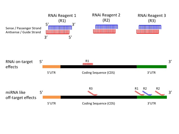 microRNA (miRNA)-like effects         can be count as of such effects that seed regions of RNAi reagents bind to mostly 3UTR and generate false         positive results (see figure 1).